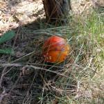 20110804-Dwingeloo_Mushrooms-DSC_0037